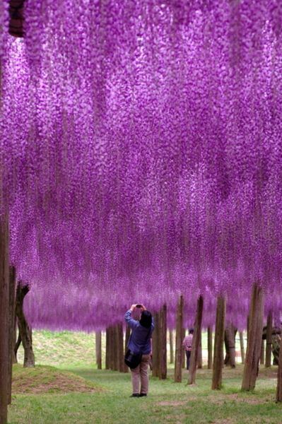 Fuji Park, JapanPurple Trees, Buckets Lists, Colors, Mothers Nature, Beautiful Places, Wisteria, Fuji Parks, Flower, Japan Travel