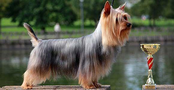 Порода этой собаки - австралийский шелковистый терьер