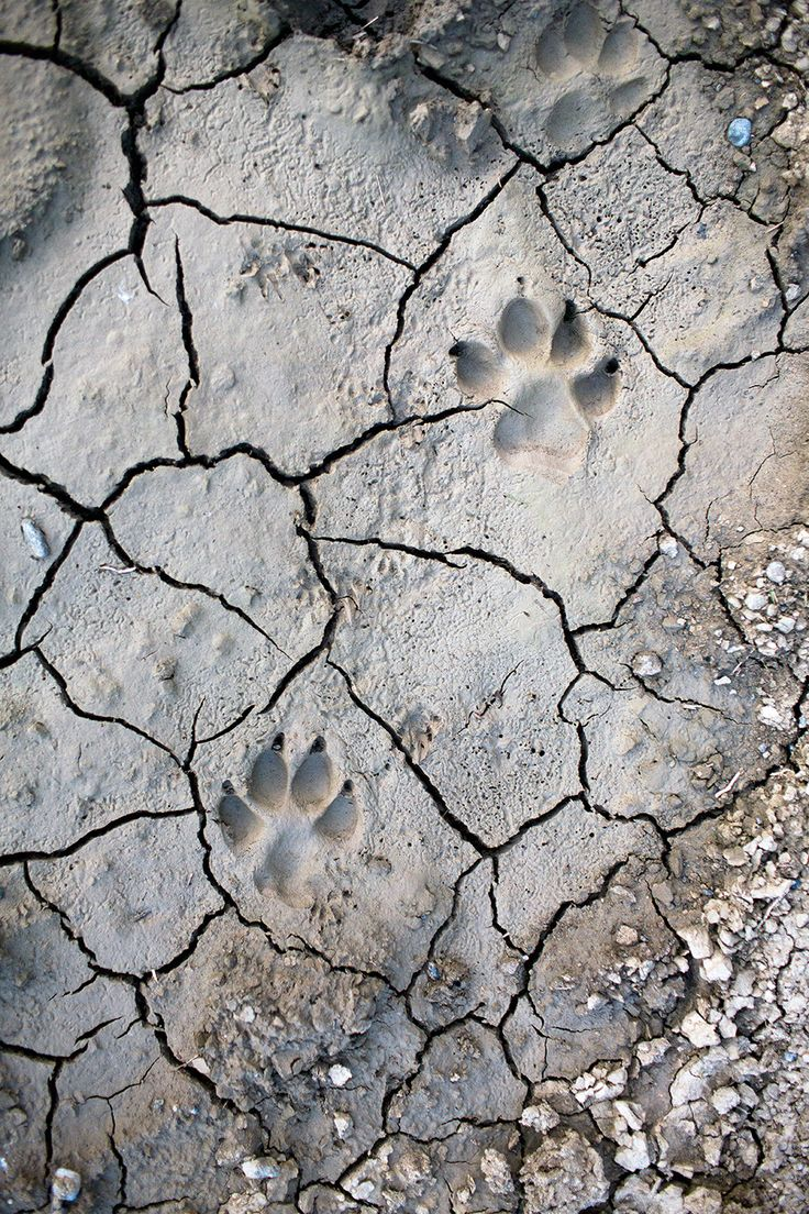 Wolf prints near Kipourio, Western Macedonia