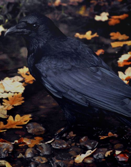 """There is wisdom in a raven's head."""