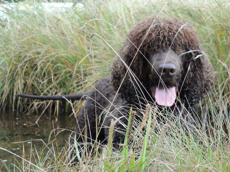 Revel the Irish water spaniel