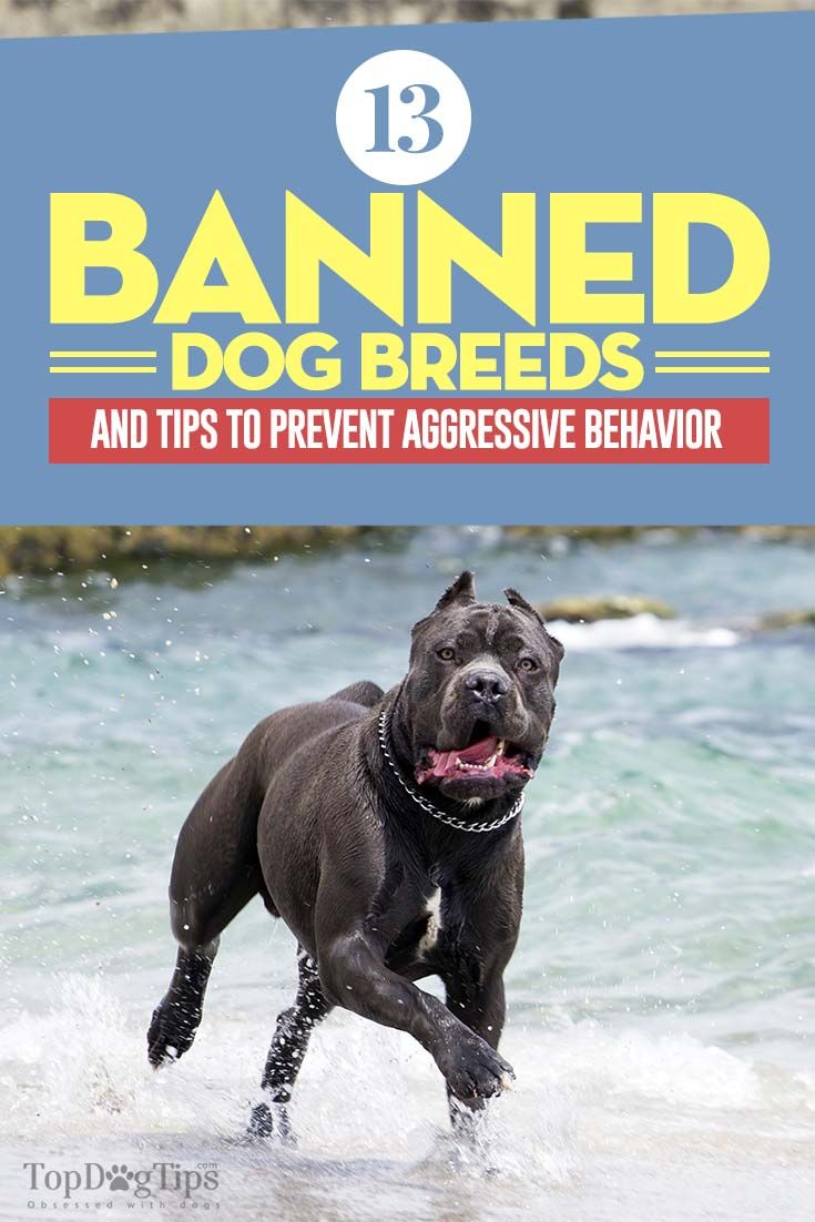 Top Banned Dog Breeds. Some states have laws that ban owning a dog of a certain breed. Usually the laws will vary from county to county, or city to city. While one county or township will ban 4 breeds, the next one over may only ban one. Still, many areas have yet to ban any breeds at all. Today we're listing the most commonly banned dog breeds and how to prevent aggressive behavior in any dog. #dogs #banned #breeds #dangerous #banning #fighting #pets #dog