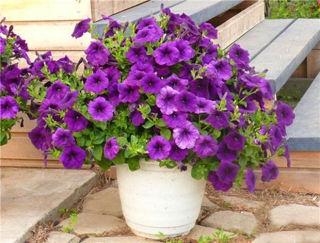 8521 melhores imagens sobre quintais e varandas no pinterest madeira jardinagem em - Growing petunias pots balconies porches ...