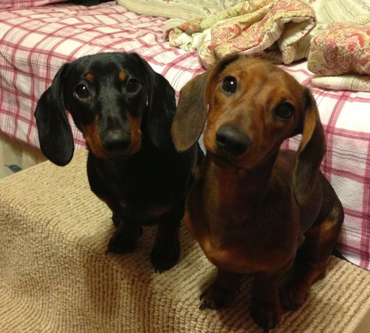 M And S Dachshund 17 Best images about d...
