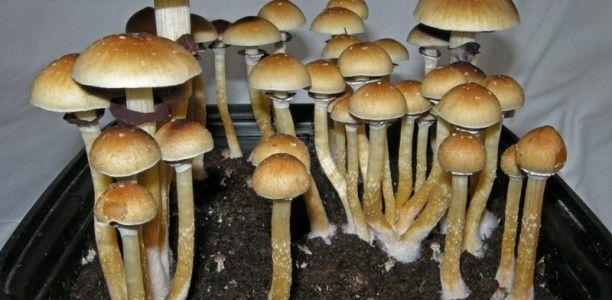 Pilze mit seltsamen … fast magischen Eigenschaften !