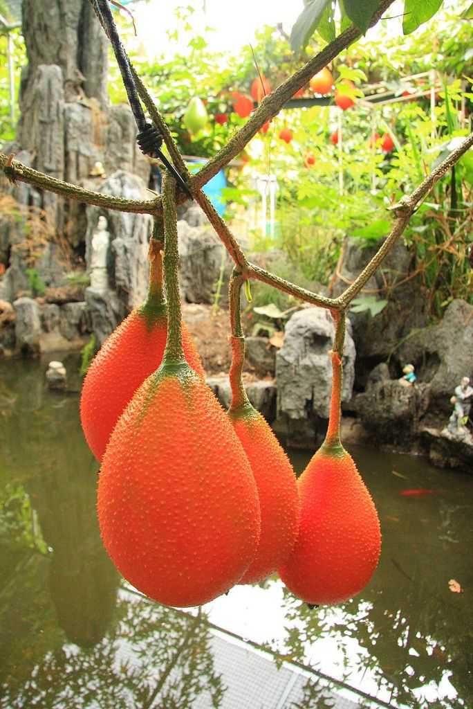 Gac fruit (Momordica cochinchinensis) is a Southeast Asian fruit found throughout the region from Southern China to Northeastern Australia, mostly Vietnam. The meat inside is bright red and soft with flat, round, hard, brow/black seed.  The meat is smashed and mixed with sweet rice then steamed to make a delicious dish.