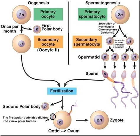 62 best gine y obs images on pinterest nursing schools medicine difference between spermatogenesis and oogenesis ccuart Choice Image
