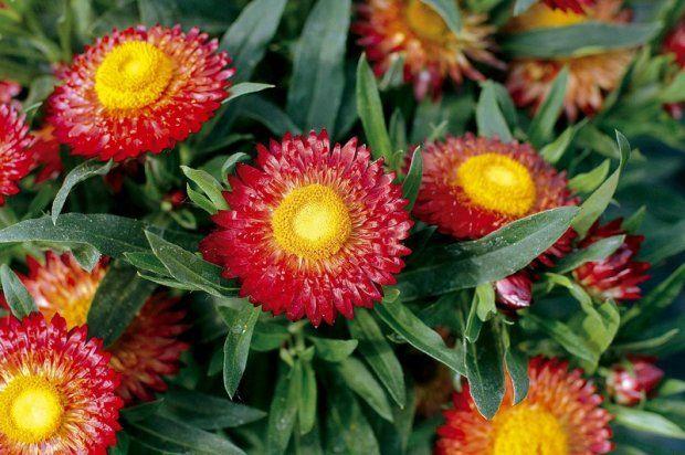 Helichrysum, dog tags - the most beautiful autumn flowers. Kocanki, nieśmiertelniki - najpiękniejsze kwiaty jesieni