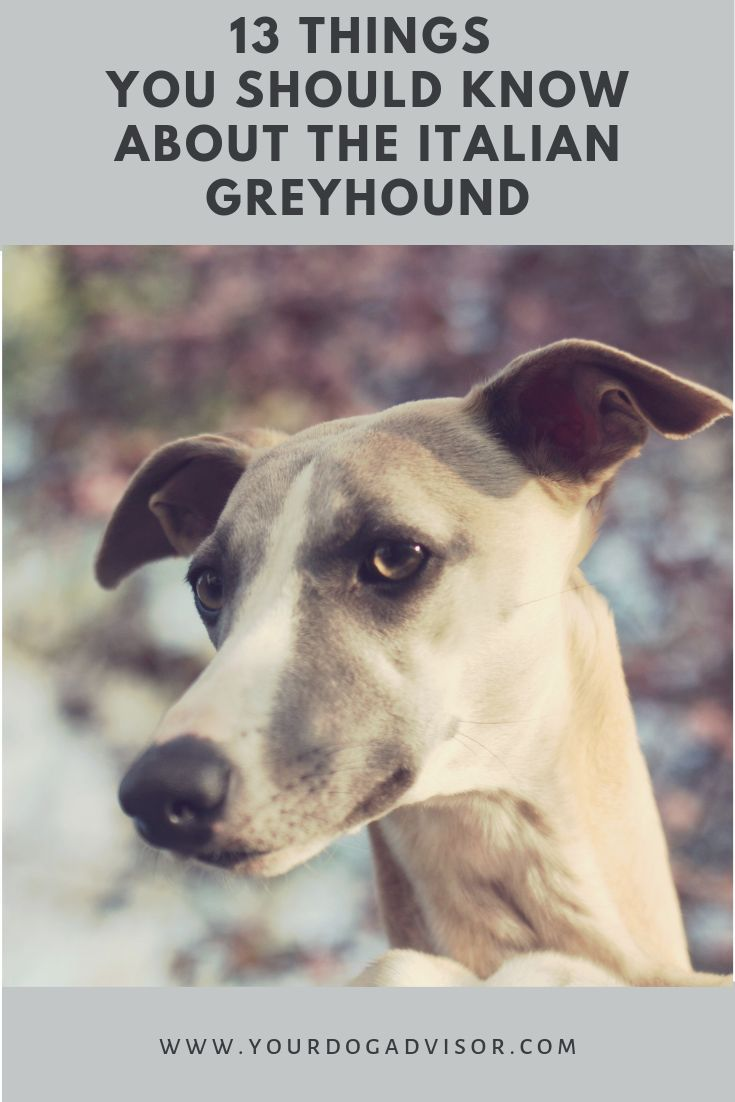 Blue Greyhounds Greyhounds Blaue Windhunde Levriers Bleus