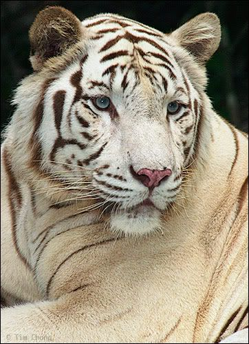 zlatá mramorovaná fotografie Bengálský tygřík: bílý tygr bengálský whitebengaltiger.jpg