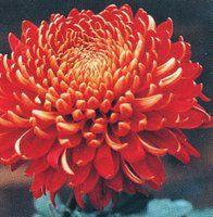 Red Chrysanthemum - (November Birth Flower) fidelity, love