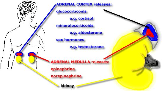 Adrenal Fatigue, by Austin Primal Fitness