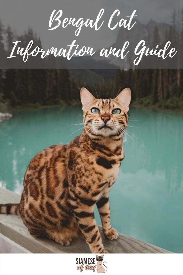 Bengal Cat Information And Guide Cats Asian Leopard Cat Bengal Kitten