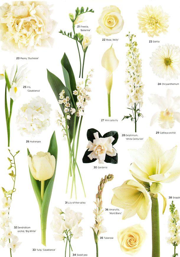 Flowers by color:  20.) Peony, 'Duchesse' 21.) Freesia, 'Ballerina' 22.) Rose, 'Akito' 23.) Dahlia 24.) Chrysanthemum 25.) Iris, 'Casablanca' 26.) Hydrangea 27.) Mini calla lily 28.) Delphinium, 'White Centurion' 29.) Cattleya orchid 30.) Gardenia 31.) Lily-of-the-valley 32.) Dendrobium orchid, 'Big White' 33.) Tulip, 'Casablanca' 34.) Sweet Pea 35.) Tuberose 36.) Amaryllis 'Mont Blanc' 37.) Rose, 'Vendela' 38.) Snapdragon