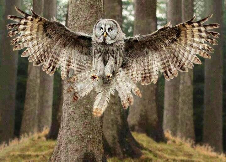 Great Grey owl, wings splayed