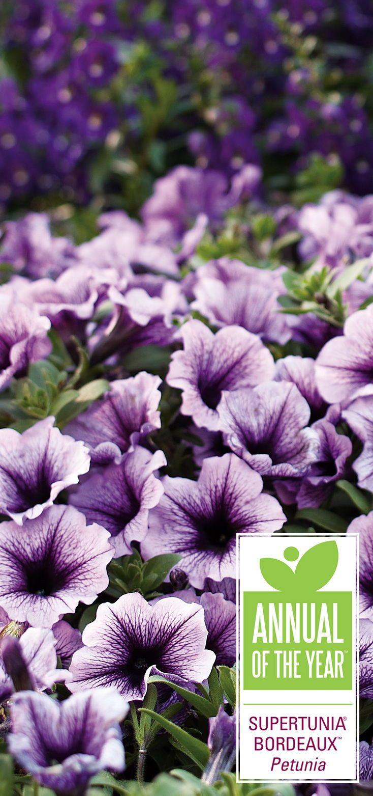 Supertunia Bordeaux Petunia Hybrid Purple Plants Annual