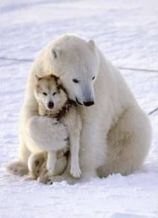 They love each other!  Polar bear & husky.  See the incredible video (also on my Amazing Animals Board) of the Polar Bear & Husky playing & socializing together.  This is remarkably sweet <3