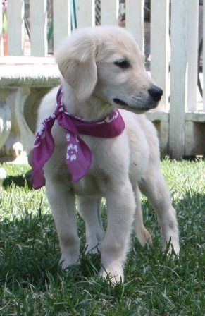 Harmony golden retriever puppy