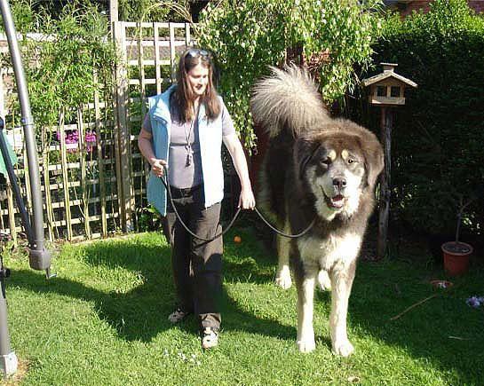 Одна из древнейших пород собак — Тибетский мастиф - Город.томск.ру