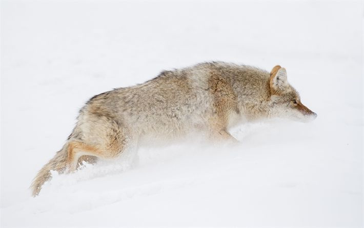 Download wallpapers Coyote, 4k, wildlife, predators, Canis latrans, Yellowstone National Park