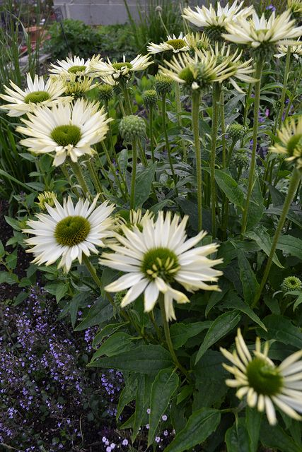Echinacea 'Virgin' by Avondale Nursery, via Flickr