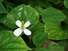 Houttuynia cordata - Wikipedia, the free encyclopedia