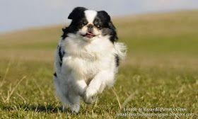 Imagen de un Chin Japones (Spaniel Japones) corriendo feliz por el campo. Raza de perros (Image of a Japanese Chin (Japanese Spaniel) running happily through the countryside. Breed of dogs).