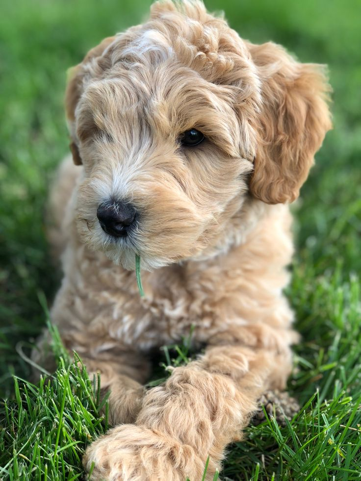 Cream and white Australian Labradoodle Puppy (With images