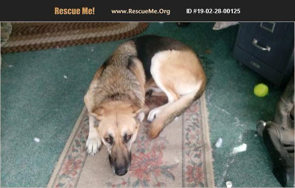 Adopt 19022800125 German Shepherd Rescue Milwaukee Wi Baby