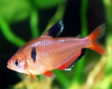Serpae tetra - A beautiful, small fish for the freshwater aquarium. I have 2 of these guys. They are very pretty together. I hope to get more and have a school of them.