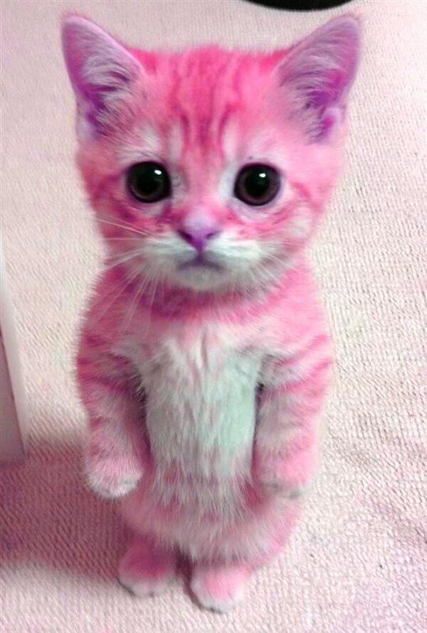Kawai Af Kittens Cutest Cute Baby Animals Cutest Kittens Ever