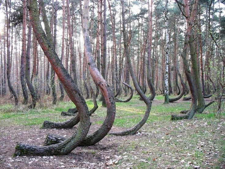 The Best Crooked Forest Ideas On Pinterest - To this day the mystery of polands crooked forest remains unexplained