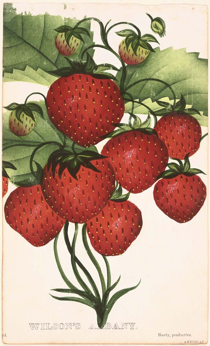 Wilson's Albany (Strawberries) from D.M. Dewey, Nurseryman's Pocket Book of Specimen Fruit and Flowers, 1875 | Museum of Fine Arts, Boston