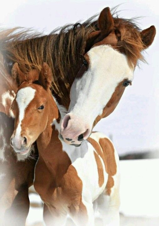 Pinto Horses are my favourite And paliminos, and painted, and clydesdales, and…