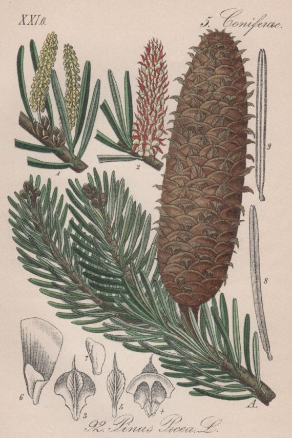 European Silver Fir Botanical Print Pine Tree Illustration