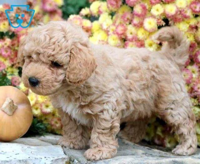 Teddy Bear Teddy Bear Puppies Teddy Bear Dog Puppies