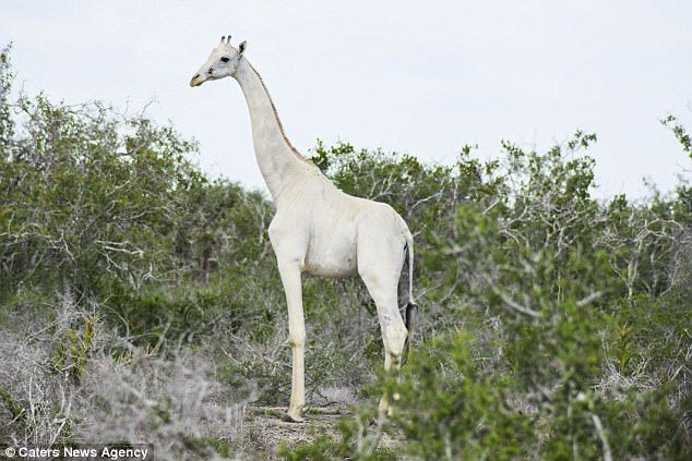 Rumours had circulated of a white giraffe and her baby in the local area of the Ishaqbini conservation but it wasn't until recently that rangers finally got to see them