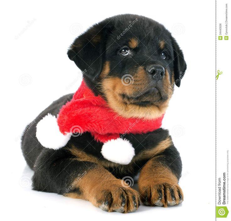 Precious Rottweiler Rottweiler Lovers Rottweiler Puppies