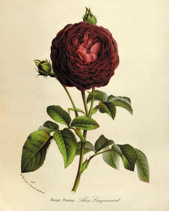 Vintage Rose antique Botanical Art Prints Home Decor