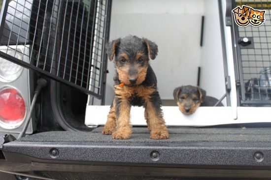 NOW ONLY 3 OUTSTANDING AIREDALE PUPPIES FOR SALE | Worksop, Nottinghamshire | Pets4Homes
