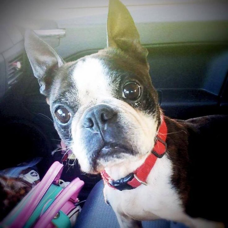 Meet Lady Doodlebug, an adoptable Boston Terrier looking for a forever home. If you're looking for a new pet to adopt or want information on how to get involved with adoptable pets, Petfinder.com is a great resource.