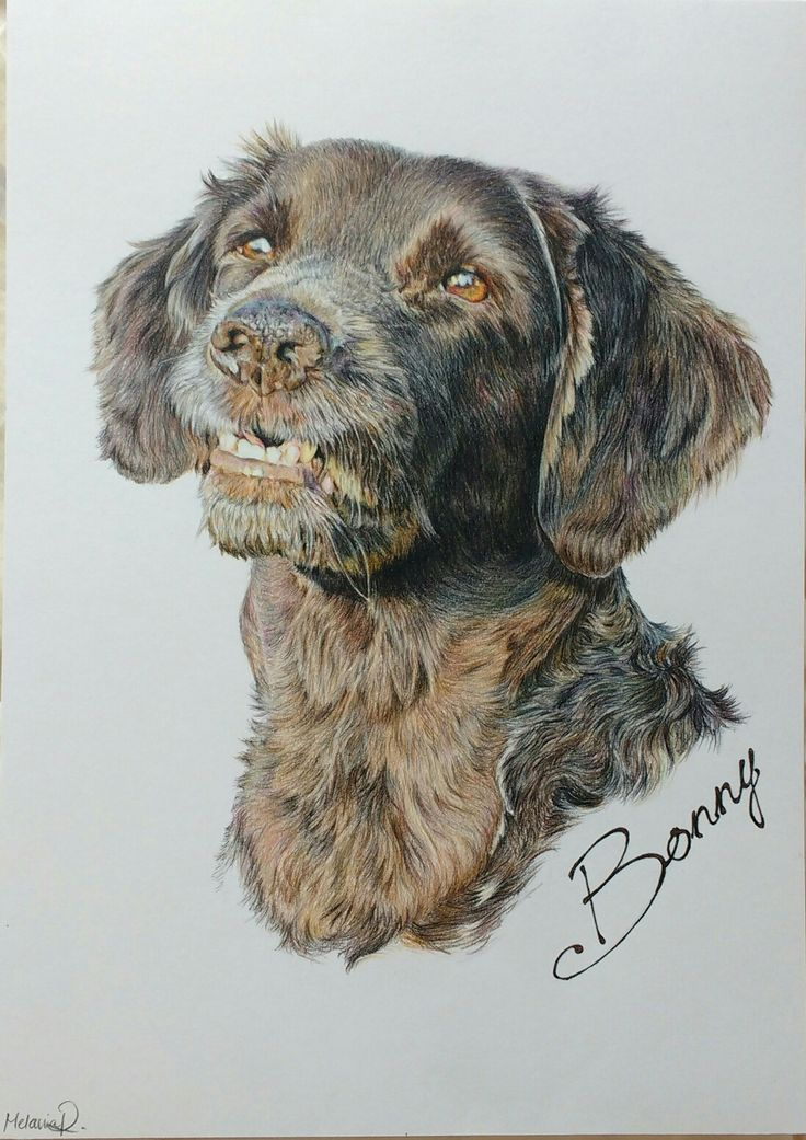 Hund 'Bonny' Portrait; Buntstift