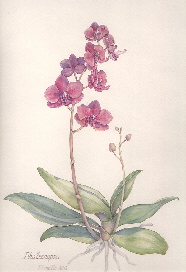 Pink phaleanopsis, watercolor by Mireille Belajonas, 2012