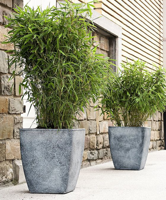 Japanse bamboe 'Boo'  Deze ideale bamboe leent zich uitstekend voor gebruik als haag in uw tuin zowel in de volle grond als in een prachtige pot op uw terras of balkon! Deze wintergroene bamboe groeit compact en woekert niet! De Japanse bamboe (Fargesia 'Boo') kan tegen flinke wind en staat graag in de zon maar ook een schaduwplekje is prima! In de volle grond is de plant winterhard in een pot graag beschermen tegen vorst. Leveringshoogte 30-40 cm.  EUR 18.75  Meer informatie