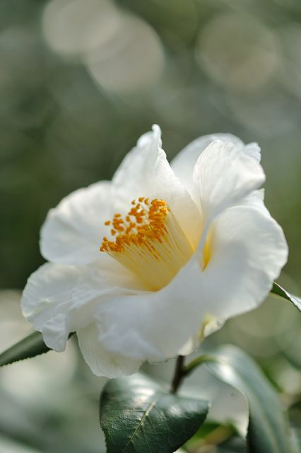 111 best camellia camellia images on pinterest beautiful flowers beautiful white camellia japonica mightylinksfo