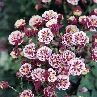 Аквилегия – многолетнее растение с оригинальной формой цветков. Цветы трехлепестковые, со шпорами, похожи на колокольчик. В зависимости от сорта могут быть разных цветов, а также двуцветные, махровые. Месторасположение: аквилегии лучше чув...