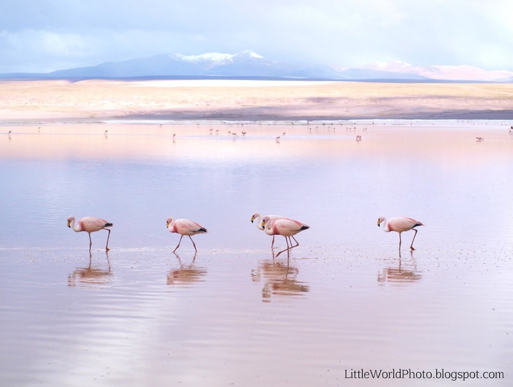 James flamingos walking. Laguna Colorada, Bolivia