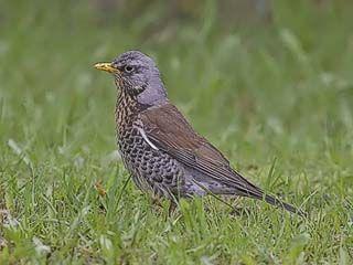 Räkättirastas, Turdus pilaris - Linnut - LuontoPortti