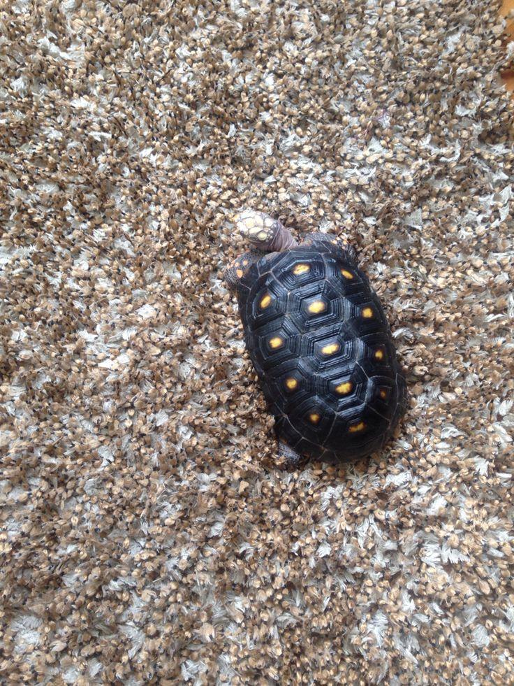 Tratando de camuflarme! #tortuga #turtle #tortoise