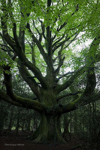 Trees ~ Magnificent Tree |